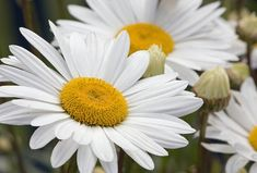 Great white daisies and a post on commenting on other writers' posts