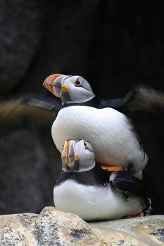 Atlantic Puffins mating by Olaya Garcia,