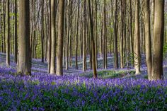 Every spring, a fairytale-like carpet of wild bluebells engulfs the floor of the Hallerbos, a 1,360-acre forest located in Halle, Belgium.