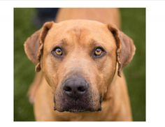 Meet Gunther, a Petfinder adoptable Mastiff Dog   Carrollton, TX   My name is Gunther.  I am a 7 year old, mastiff mix.  I am a happy go lucky guy who loves everyone...