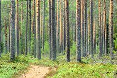 Metsämaisema 2 - metsä maisema metsämaisema suomalainen tyypillinen metsä mäntymetsä mänty männyt männynrungot männikkö puu puut rungot tukkipuu kaunis mäntykangas kangasmaasto kasvupaikka kesä kesäinen polku metsäpolku