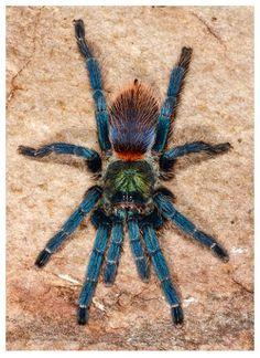Brazilian Blue Diamond Tarantula (Oligoxystre diamantinensis)