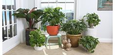 Philodendron | Costa Farms | Features, Growing Instructions and Special Care |