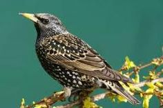 Starling - Have these in flocks. Noisy and crap all over the place