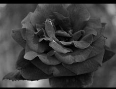 The Rose... photo by Rebecca Parker
