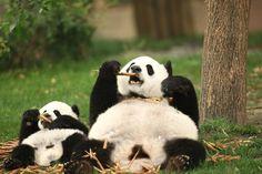 かわいいパンダ写真37枚、仕事の合間に見て癒される
