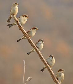 Sparrows all in a row