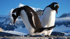 Watch the drama of 3,000 gentoo penguins who surround an Antarctic post office each summer when Nature: Penguin Post Office airs this Wed., Jan. 28, at 8pm on CET