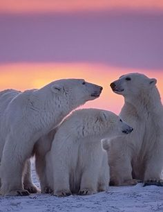 Polar bears in the wild. Where they belong.