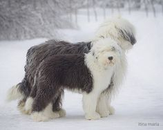 Old English sheepdog by ~my great grandma used to have a neighborhood dog like this! Loved it as a child!