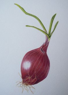 Original Red Onion Botanical Drawing in Colored Pencil by mbarts, £40.00