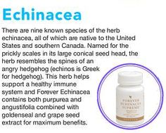 There are 9 known species of the herb Echinacea, all of which are native to the USA & southern Canada. Named for the prickly in its large conical seed head, the herb resembles the spines of an angry hedgehog (Enchinos, is Greek for Hedgehog). This herb helps support the immune system & Forver Enchinacea contains both purpurea & augustifolia, combined with goldenseal & grapeseed extract for maximum benefits. £17.33 www.foreversupplements.info #immunesystem #flu #colds #supplements #viruses Natural Aloe Vera, Grape Seed Extract, Forever Living Products, Weight Loss Supplements, Kraut, Flu, Immune System, The Cure, Herbs