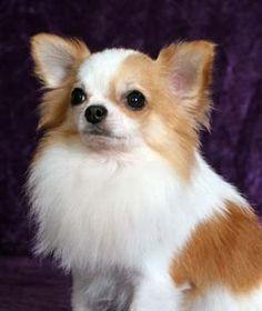 long hair chiuhaua   Taxi License Plate Line / Chihuahua long hair 5