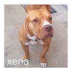 WHAT A GORGEOUS GIRL!!Dallas, TX - Staffordshire Bull Terrier/American Pit Bull Terrier Mix. Meet…