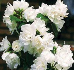 philadelphus « Mrs E L robinson » ou seringat mrs e l robinson pot 3 litres 30/60cm - JARDIPLANTE