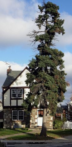 A house and tree in Bellerose, Queens.