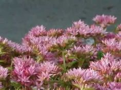 Low-Maintenance Ground Covers That Suppress Weeds | Phlox subulata, red creeping thyme, dragons blood sedum