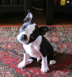 Ohh, thus is how my Coco looks at me !!  boston terrier head tilt