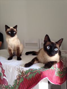 Siamese cats - best cats on the planet!