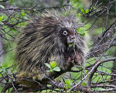 Switch to decaf? Never! ]Porcupines are one of the largest rodents in North America (second only to beavers).]