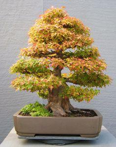Trident Maple (Acer Buergerianum) bonsai tree.