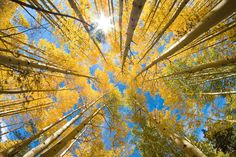 A Grove of Aspen Trees in Colorado Rocky Mountains in full Golden Color taken with a fisheye lens shooting straight up to the sky. Description from pixels.com. I searched for this on bing.com/images