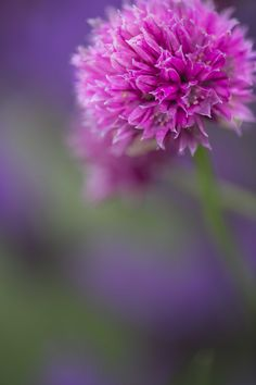 Allium S Forescate by Deborah Tarry on 500px
