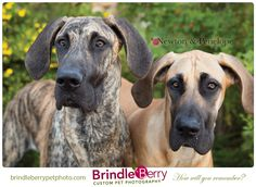 © BrindleBerry - Custom Pet Photography | Pet Photography | Photography Calgary, Alberta Canada | Dog | Great Dane | www.brindleberrypetphoto.com