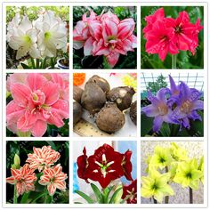 True Amaryllis bulbs,Hippeastrum bulbs bonsai flower bulbs Amarilis Rizomas Bulbos Barbados Lily bonsai garden planta -2 bulb