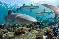White-tip Reef Sharks, Triaenodon obesus, and Black tip Reef Sharks, Carcharhinus melanopterus, prowl the shallows of coral reef in Beqa Lagoon, Fiji by Michael Patrick O'Neill
