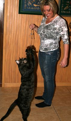 Mokave cats come in large and giant sizes but there is no way to predict which ones will get the biggest---23 pounds at 1 year