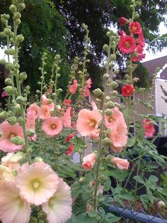 I love hollyhocks..we used to spend hours making dancing dolls out of them when I was 10