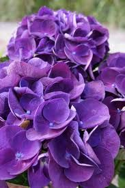 My Favorite Flowers EVER! dark purple hydrangea
