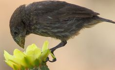 Almost every species of Galapagos land bird has been found feeding on the nectar and pollen of flowers. Such an expansion of diet has never before been observed.