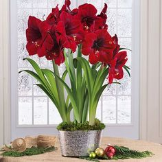 This Grand Trumpet Royal Amaryllis features large, double red blooms atop tall strong stalks. The quick-growing plant produces symmetrical blooms rich in color growing for weeks.