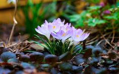 Light purple crocus flowers in a spring field. Spring sun shines at this beautiful flowers. Spring Wallpaper Hd, Spring Flowers Wallpaper, Flower Wallpaper, Beautiful Nature Spring, Spring Nature, Beautiful Flowers, White Flowers, Natur Wallpaper, Frühling Wallpaper