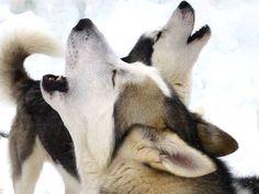 De bekende Husky's. Oersterke honden die je dan onder controle moet zien te krijgen.