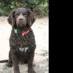 Curly Coated Retriever images