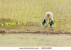Malaysian farmer planting rice in the paddy fields with water.