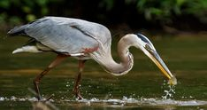 Great Egrets Lacy Courtship Birdnote >> 13 Best Birds Of Sherwood Forest Images In 2019 Sherwood Forest