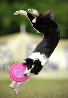 A border collie catches a frisbee during the Skyhoundz Disc Dog European Championship competition in Budapest, Hungary. I miss my border collie. I Love Dogs, Cute Dogs, Photo Animaliere, Animal Tracks, Collie Dog, Cocker Spaniel, Dog Life, Dog Pictures, Doge