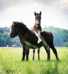 Best buds, miniature horse friends hanging out.