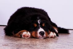 Bernese Mountain Dog - Bolivar Bernese Mountain, Mountain Dogs, Fox, Pets, Animals, Animales, Animaux, Bernese Mountain Dogs, Animal
