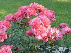 Rosarians – Free Rose Help