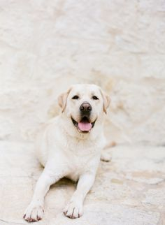 On my list of dogs to one day have. Yellow Labrador. http://www.pinterest.com/giannbrooks/cuties/