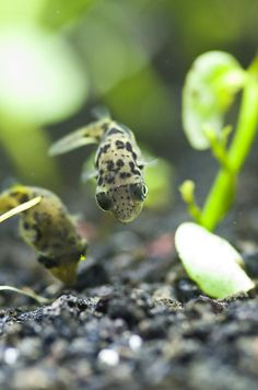 Dwarf puffer fish are the perfect choice for aquarists looking for a fascinating new addition to their tank! Going Fishing, Best Fishing, Ice Fishing, Fishing Rod, Freshwater Aquarium, Aquarium Fish, Dwarf Puffer Fish, Different Fish, Fish Care