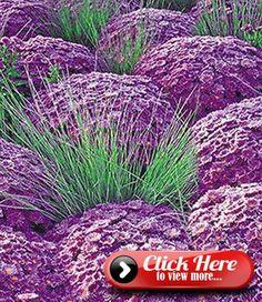 Ornamental Grasses, Perennials, Ornaments, Purple, Plants, Image, Lilac, Hardy Perennials, Gardening