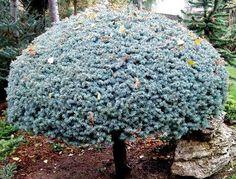 Kigi Nursery - Picea pungens ' Glauca Globosa ' Lolipop Dwarf Colorado Blue Spruce, $25.00 (http://www.kiginursery.com/dwarf-miniatures/picea-pungens-glauca-globosa-lolipop-dwarf-colorado-blue-spruce/)