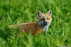 Red Fox by AnimalExplorer