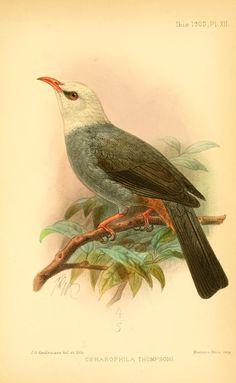 ser. 8, v. 3 (1903) - Ibis. - Biodiversity Heritage Library